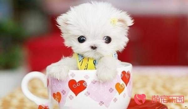 为什么说茶杯犬不好养活